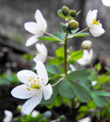 Macin. Flori de primavara. Gainusa alba