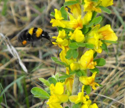 flori si insecte de primavara. Bondarul pe o floare galbena