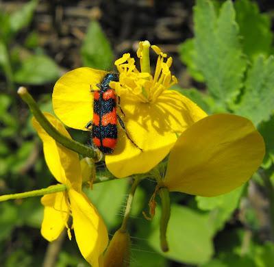 flori si insecte de primavara. pestrita pe floarea de ochiul boului