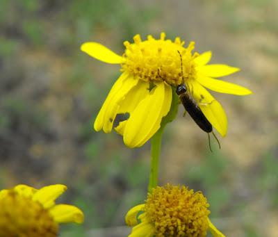 flori si insecte de primavara. urechelnita