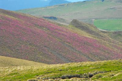 Muntii Bucegi - versant acoperit cu smardar (planta ocrotita prin lege)