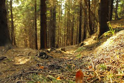Piatra Craiului - padure de brad