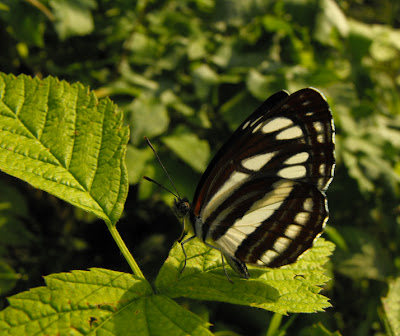 black and white butterfly - fluturas negru cu alb