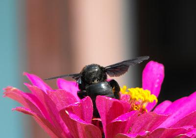 bondar culegand polen