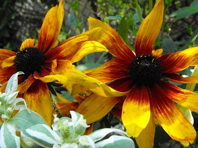 floarea-soarelui de gradina