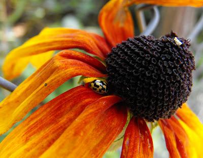 floare de gradina, buburuza