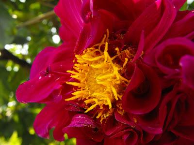 dalie, floare de gradina