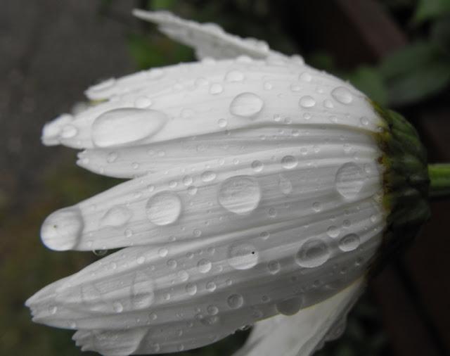 Margareta. Ciucas. Stropi de ploaie