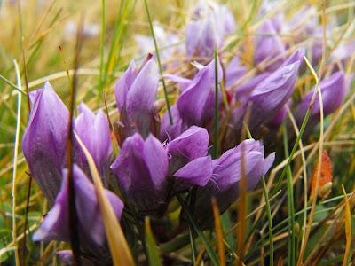 Ciucas. Flori de munte