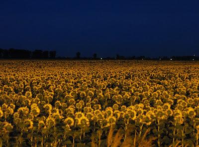 lan de floarea-soarelui noaptea