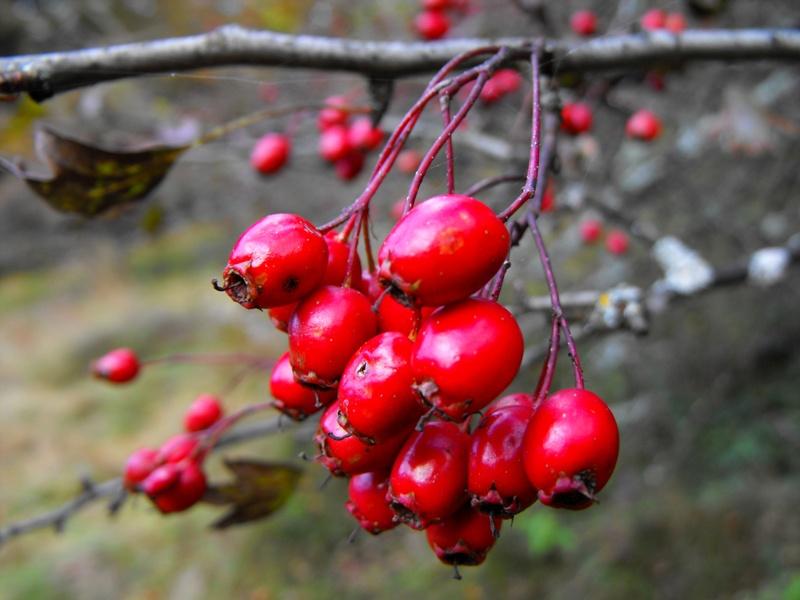 fructe de padure: paducel