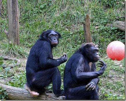750px-Bonobo_011