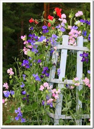 luktärterfrAlltomträdgård