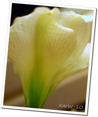 vit amaryllis 009-1