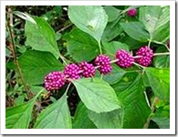 180px-Beautyberry