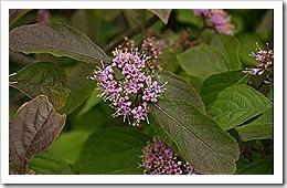 800px-Callicarpa-bodinieri-flowers