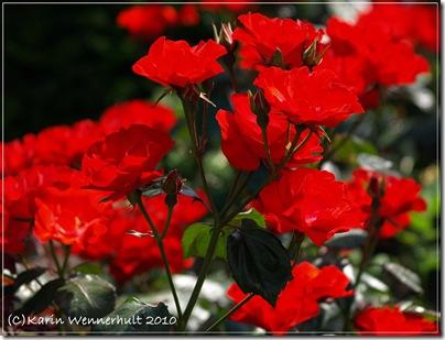Lysande röda rosor