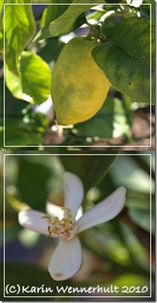 Citronocitronblomma