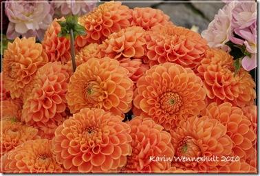 Orange dahlior