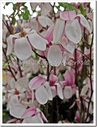 Magnolianäsdukar