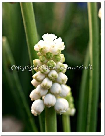 Pärlhyacintbebis