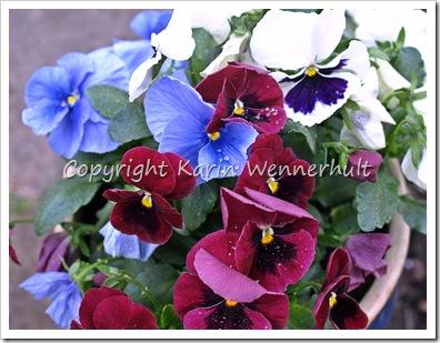 Penseeriträdgårdens färger