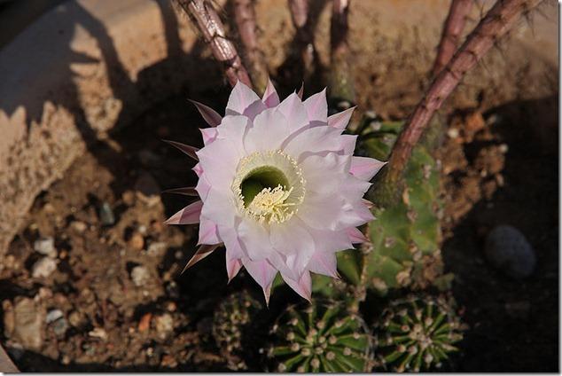 kaktus_06