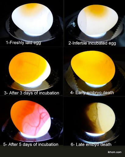 Lysa ägg