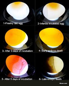 Chicken Egg Development Candling