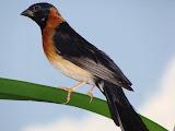 male Paradise Whydah