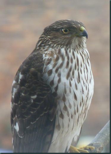 Chicken Hawk 004