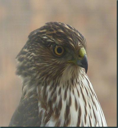 Chicken Hawk 002