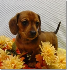 Chessie RD Male Mini Dachshund 6wkWeb1