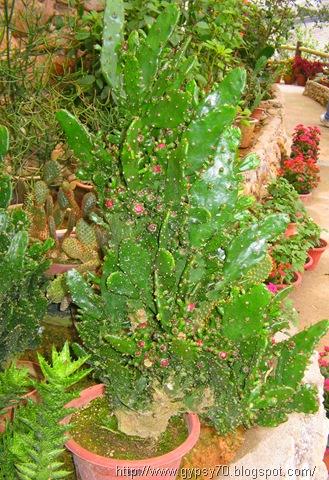 cactus, cameron highlands