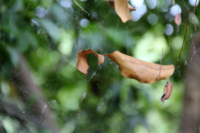 spider web at Sungei Buloh
