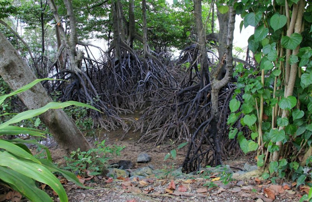 Mangroves at Sungei Buloh