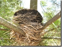 Nest in pine tree