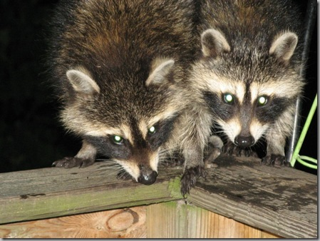 Raccoon babies2