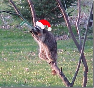 Santa Raccoon