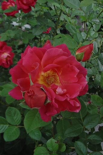 фото розы херсонес