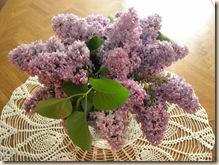 Dr. Gimbrere's lilacs