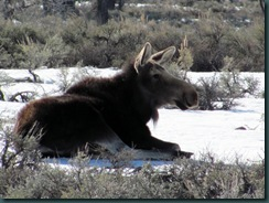 24.Moose.near.Gros.Ventre.Campground.04.27.11