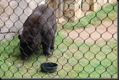 baylor bear-10
