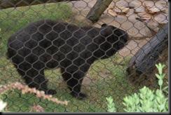 baylor bear-1