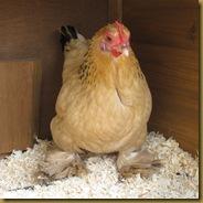 Chickens 128