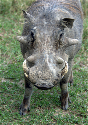 common warthog. common warthog. logiclife