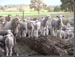 lambs log