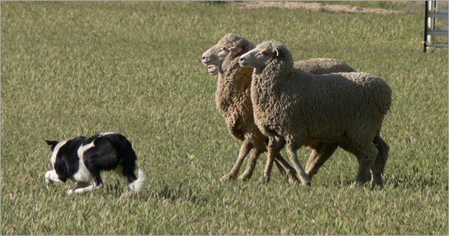 midge sheep