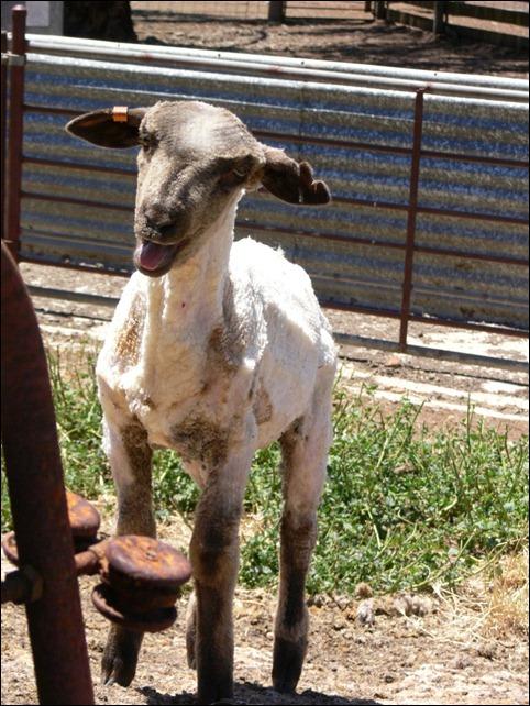 lamb shorn