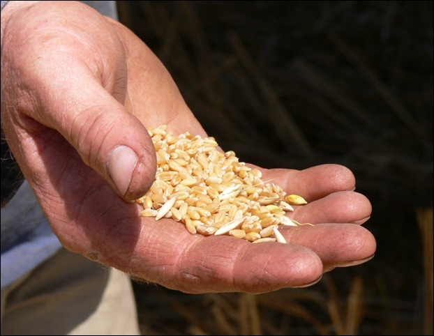 wheat hand